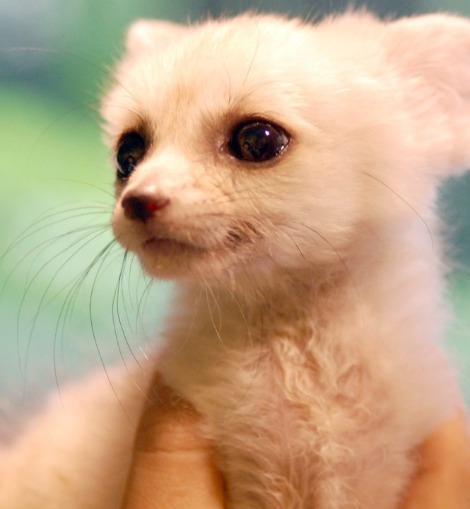 15 Baby Animals You Didn't Know Were Adorable | Pleated Jeans Fennec Fox Newborn