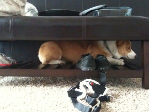 25 Places Corgis Don't Belong (7)