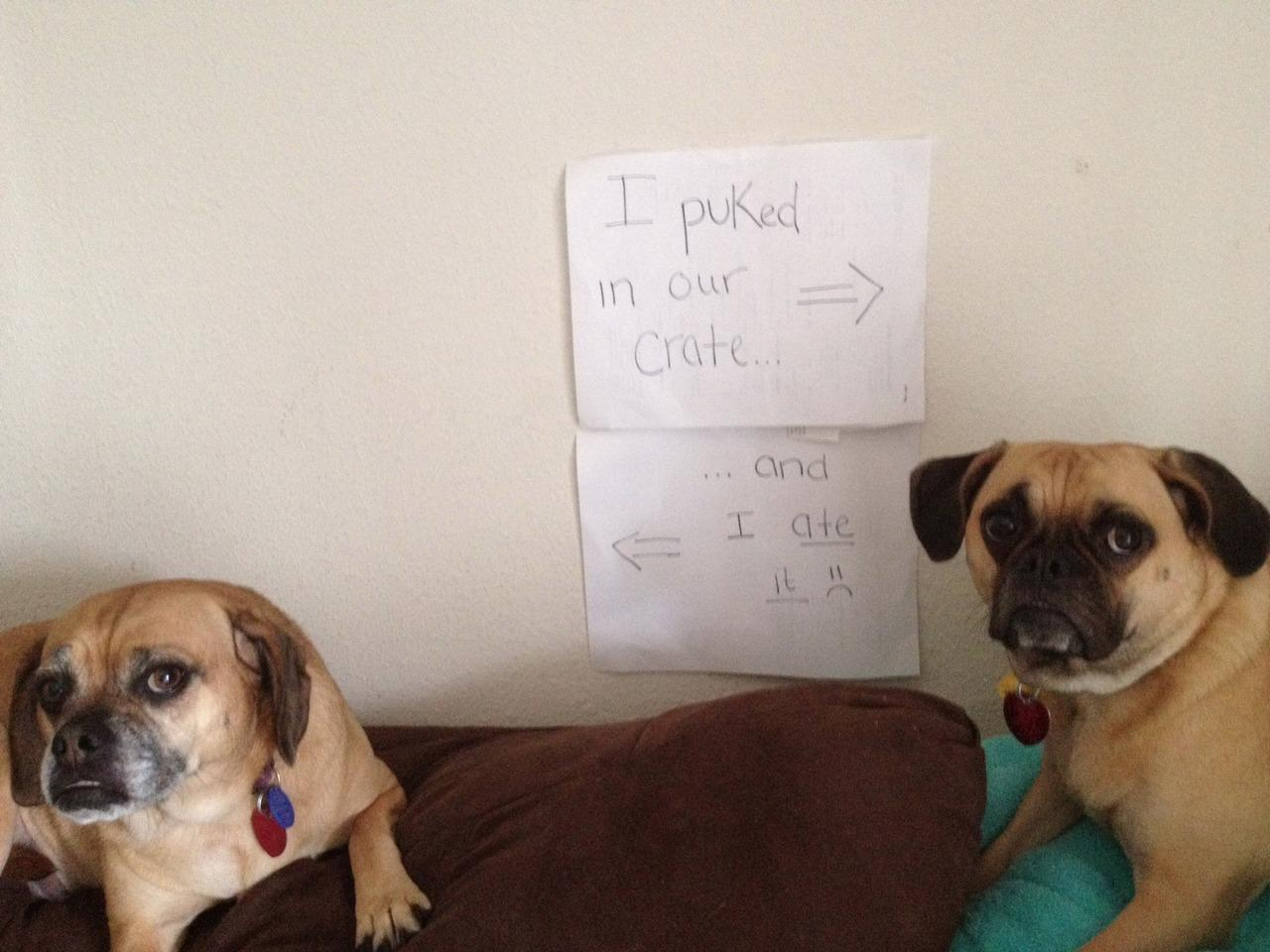 Pics Photos   20 Bad Dogs Being Shamed With Signs Og4QgoGl