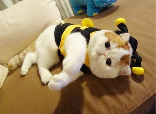 Exotic Shorthair Cat Tumblr