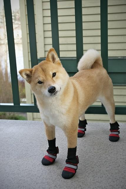26 Places Shiba Inus Don T Belong Pleated Jeans