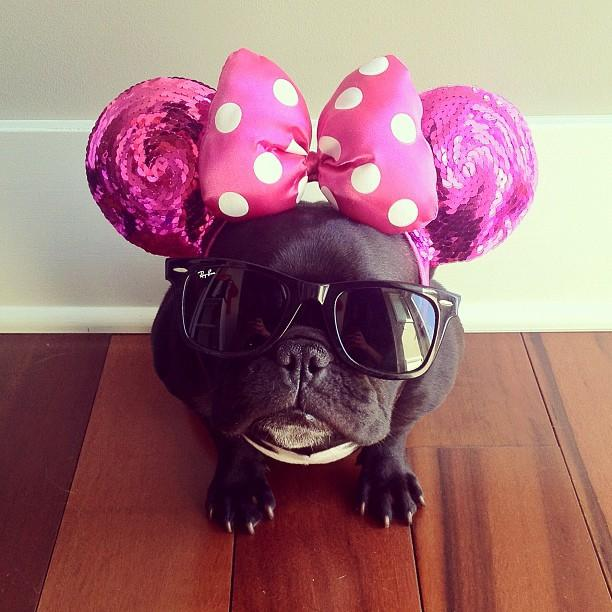 french bulldog dressed up meet trotter the french bulldog that loves playing dress 2033