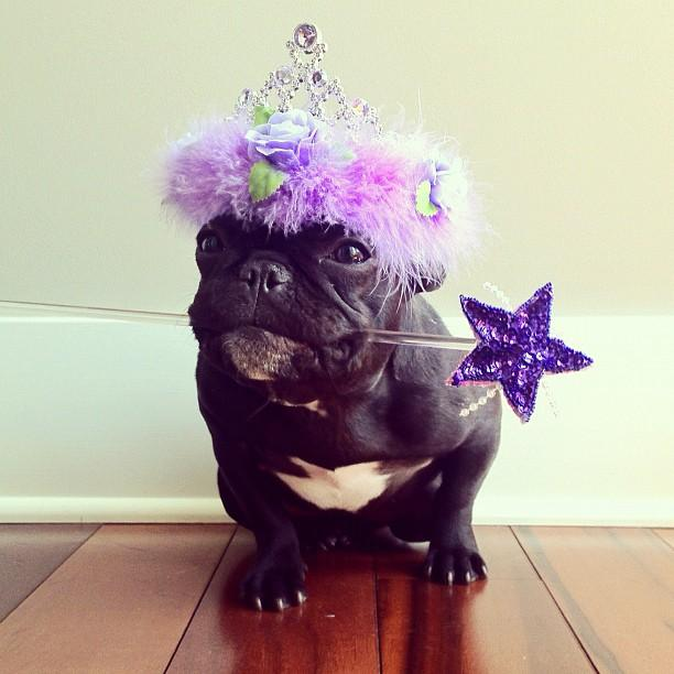 french bulldog dressed up meet trotter the french bulldog that loves playing dress 1606
