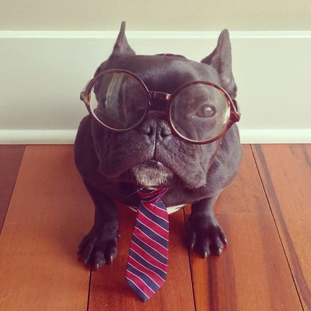 french bulldog dressed up meet trotter the french bulldog that loves playing dress 5270