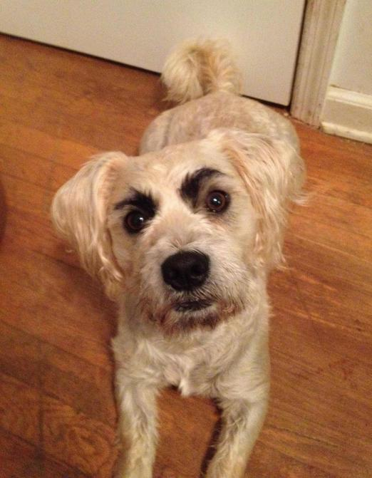 how to draw eyebrows on your dog