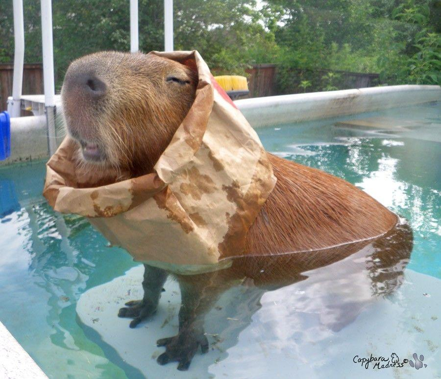 An Ode to the Capybara (15 Pics) | Pleated Jeans