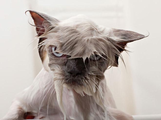 Bilderesultat for cats hate bathing