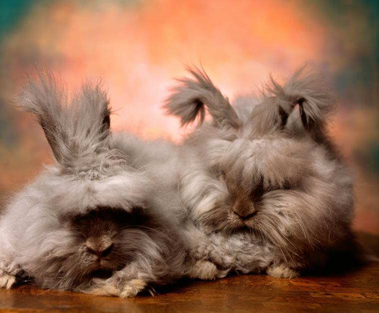 16 angora rabbits that really need a haircut 16 pics