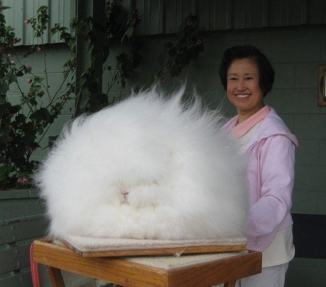 16 Angora Rabbits That Really Need A Haircut 16 Pics Pleated Jeans