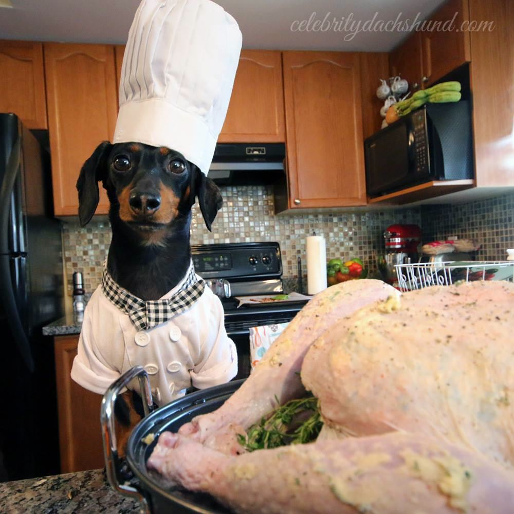 Crusoe the celebrity dachshund cooking hot
