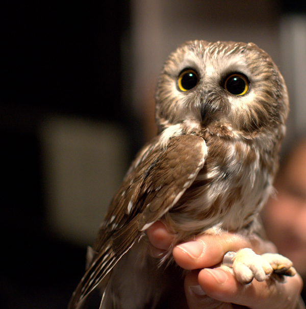 Image of: Saw Whet 30 Images That Prove Owls Are The Cutest Birds On The Planet Pleated Jeans 30 Images That Prove Owls Are The Cutest Birds On The Planet