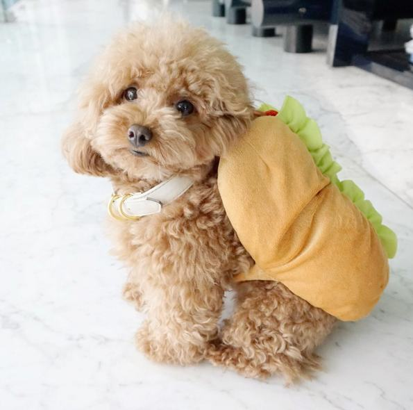 Ginger Doodle is the Internet's Cutest Little Toy Poodle